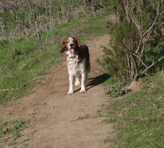 Winslow the Welsh Springer Spaniel on a Hike in Costa Mesa