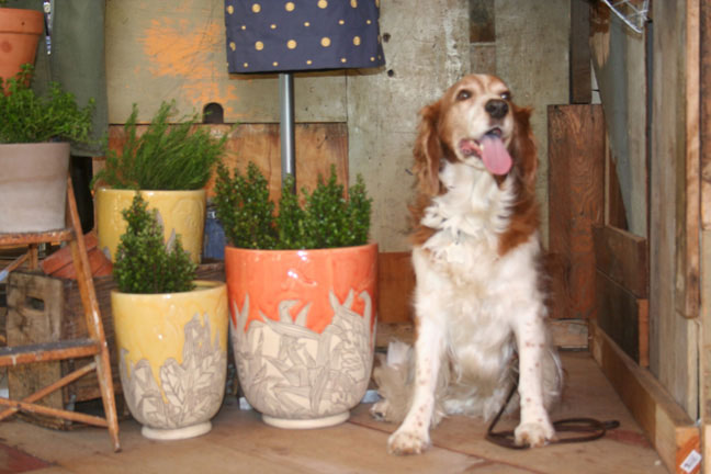 Winslow the Welsh Springer Spaniel visits Anthropologie at Fashion Island