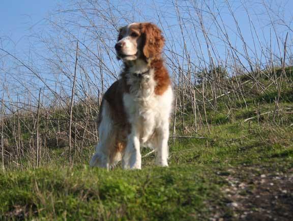 Hunting dog Winslow the Welsh Springer Spaniel