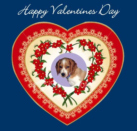 Happy Valentines Day from Winslow the Welsh Springer Spaniel