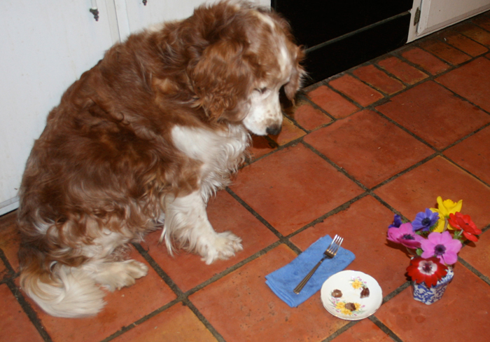 Welsh Springer Spaniel Winslow Homer Hatfield waits for the signal that it is okay to start eating his snack of filet mignon morsels. This might be torture.