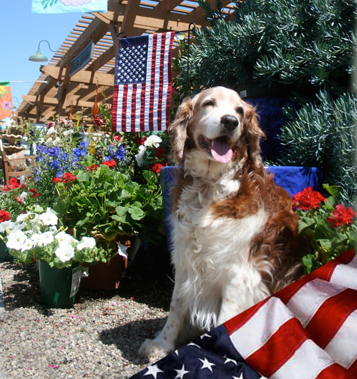 Winslow the welsh springer spaniel observing Memorial Day at Armstrongs Garden Center