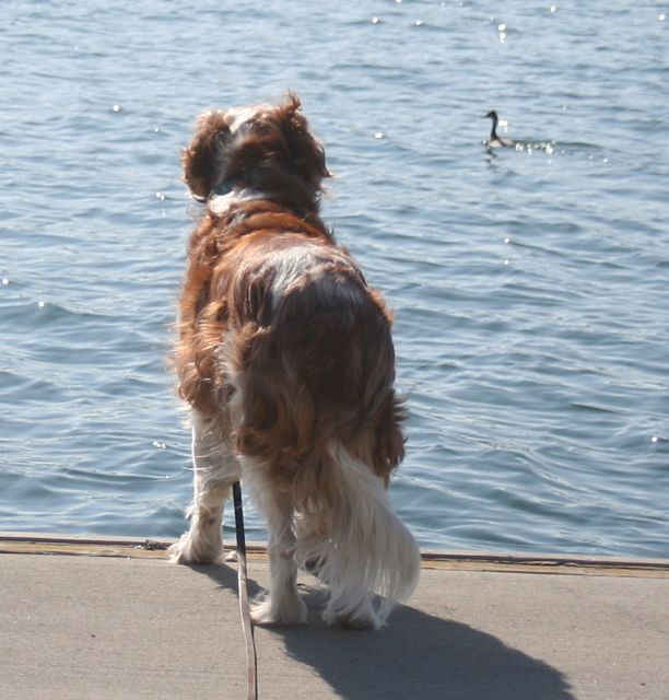 Winslow checks out an American Coot in Newport Harbour