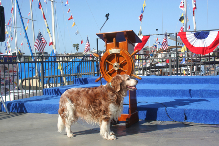 Winslow the Welsh Springer Spaniel at yacht club  opening day in  Newport Beach