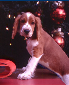 Winslow as a tiny puppy at the Fashion Island Christmas tree