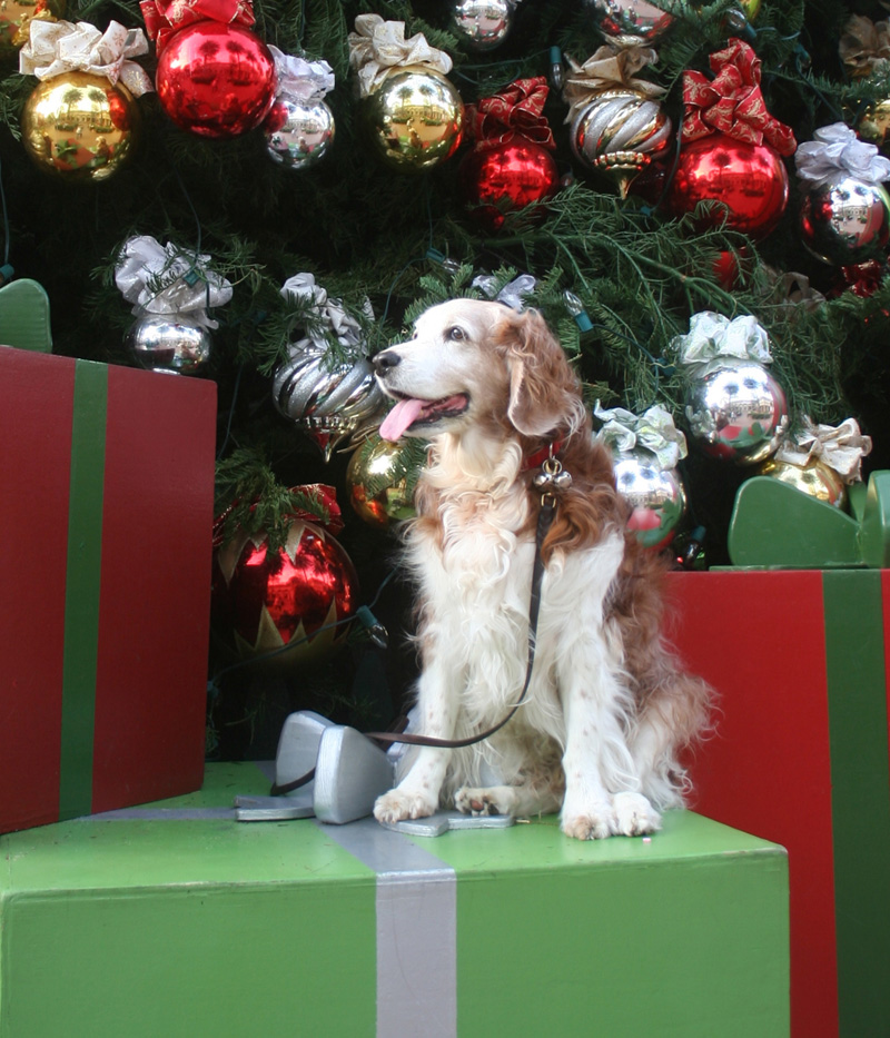 Winslow the Welsh Springer Spaniel at Fashion Island in Newport Beach