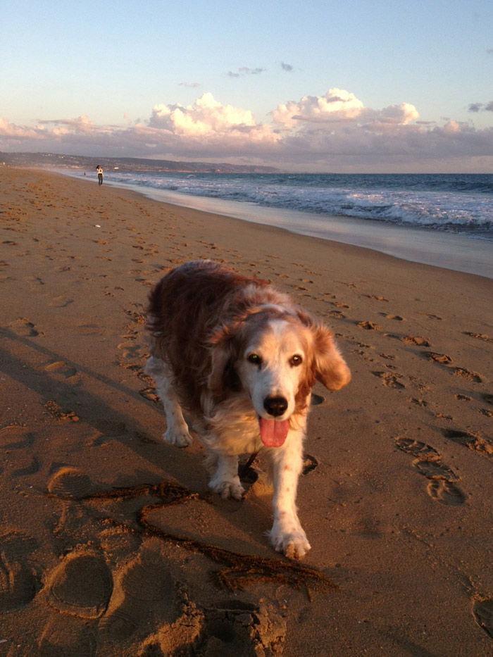 Winslow the Welsh Springer Spaniel on the beach at  Newport Beach, California near sunset in February.