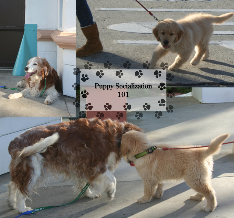 Winslow the welsh springer spaniel socializing with a golden retriever puppy at the Balboa Island Firehouse